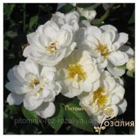 Саженцы роз Kent (Кент)