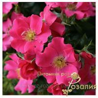 Саженцы роз Stadt Rom (Штадт Ром)