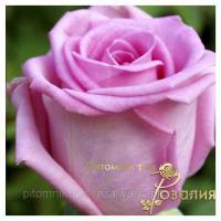 Саженцы роз Aqua (Аква)