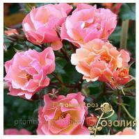 Саженцы роз Jazz (Джаз)