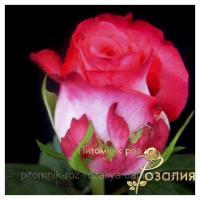 Саженцы роз Enjoy (Энджой)