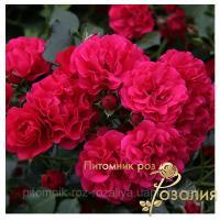 Саженцы роз Gartnerfreude (Гартнерфройде)