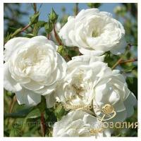 Саженцы роз Swany (Cвани)