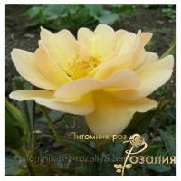 Саженцы роз Sonnenschirm (Зоненширм)