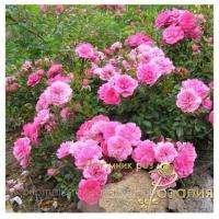 Саженцы роз Knirps (Книрпс)
