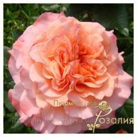 Саженцы роз Augusta Luise (Августа Луиза)