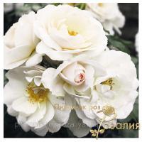 Саженцы роз Perle Meillandecor (Перль Мейяндекор)