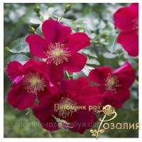 Саженцы роз Purple Haze (Перпл Хэйз)
