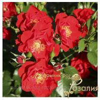 Саженцы роз Alpenglühen (Альпенглюэн)