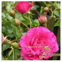 Саженцы роз Rody (Роди)