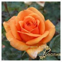 Саженцы роз Ashram (Ашрам)