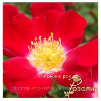 Саженцы роз Rouge Meillandecor (Руж Меяндекор)