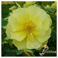 Саженцы роз Limesgold (Лимесголд)