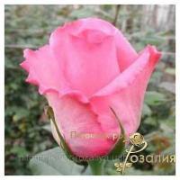 Саженцы роз Eliza (Элиза)