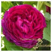 Саженцы роз Ascot (Аскот)