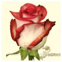 Саженцы роз Blash (Блаш)