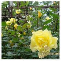 Саженцы роз Golden Showers (Голден Шоверс)