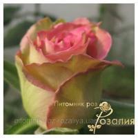 Саженцы роз Espеrance (Эсперанс)