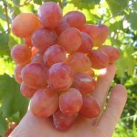 Саженцы винограда столового Анюта