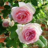 Саженцы плетистой розы Эден Роуз