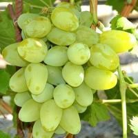 Саженцы винограда столового Супер Екстра