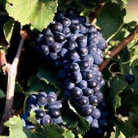 Саженцы винограда Черный жемчуг