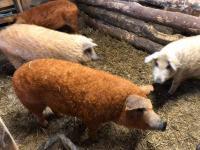 Кнуры на племя породы Венгерская Мангалица от 2 месяцев