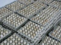 Инкубационные яйца бройлера, опт