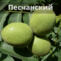 Саженцы грецкого ореха Песчанский / Привитый