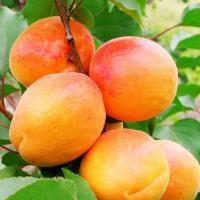 Саженцы абрикоса NGA-19, двухлетние