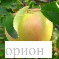 Саженцы яблони (иммунные сорта)