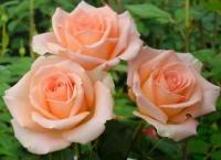 Саженцы розы чайно-гибридной Версилия