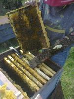 Пчелопакеты с племенных пасек карпатской породы