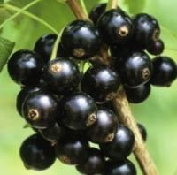 Саженцы смородины черной Оджебин