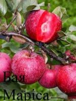 Саженцы яблони красномясая Бая, Ера, (ексклюзив)