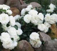 Саженцы розы почвопокровной Альба Мейдиленд