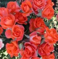 Саженцы розы бордюрной Аллегрия