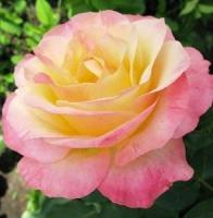Саженцы розы плетистой Глория Дей