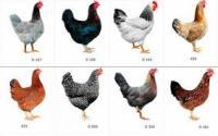 Цыплята несушки порода Доминант