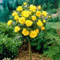 Саженцы розы штамбовой Керио