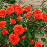 Саженцы розы бордюрной Оранж Беби