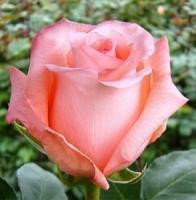 Саженцы розы чайно-гибридной Ангажемент