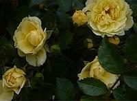 Саженцы почвопокровной розы Елоу Фейри (Yellow Fairy)