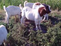 Бурские козлики