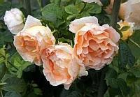 Саженцы розы плетистой Полька (Polka)