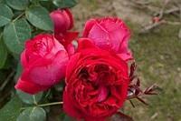 Саженцы розы кустовой Ред Эден (Red Eden)
