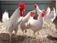 Цыплята яичной породы Леггорн, суточные