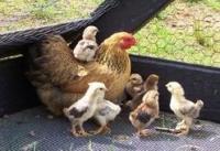 Цыплята мясо-яичной породы Мастер Грей, суточные