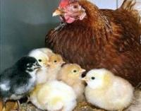 Цыплята мясо-яичной породы Фокси Чик, суточные