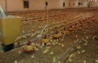 Цыплята бройлера кросса COBB-500 суточные